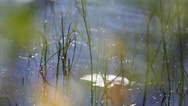 Stock Video Footage of Water Horsetail stalks (Equisetum fluviatile) moving in a summer breeze