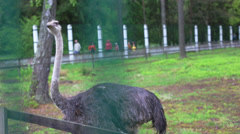 ostrich in captivity - stock footage