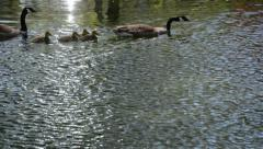 Geese and goslings - stock footage