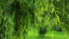 Stock Video Footage of Weeping willow