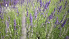 Lavender bushes in the park in Tbilisi Stock Footage