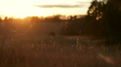 Grass blowing in the wind at sunset Stock Footage