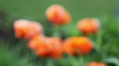 Poppy Flowers in Bloom Stock Footage