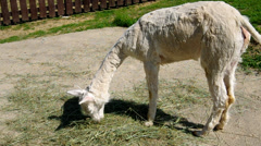 White lama eats dry grass Stock Footage