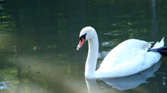 White swan floating on the lake - stock footage