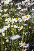 Close up image of wild daisy flowers in wildflower meadow landscape Kuvituskuvat