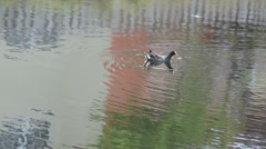 Common gallinule (gallinula galeata) floating over calmed water 03 Stock Footage