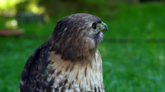 A Red Tailed buzzard Stock Footage