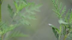 Little leaf notcher weevil (myllocerus undecimpustulatus) standing on the top Stock Footage