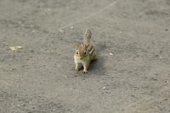 Chipmunk on Path - stock photo