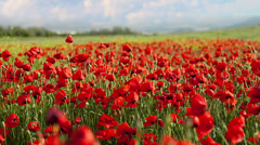 Red poppies swaying in the wind Stock Footage