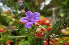 ruellia tuberosa linn. waterkanon, watrakanu, minnieroot, iron root, feverroo - stock photo
