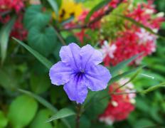 ruellia tuberosa linn. waterkanon - stock photo