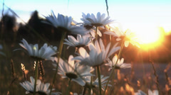 Sunset Flower field Stock Footage