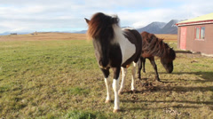Iceland wild horse - stock footage