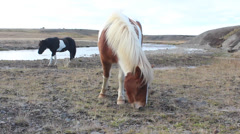 Iceland horses - stock footage