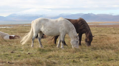 Iceland horses. - stock footage