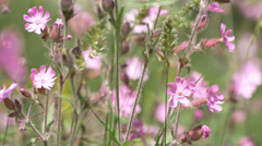 Red campion, a small pink european mountain flower Stock Footage