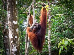 Borneo Orang Utan at the Semenggoh Nature Reserve in Kuching, Malaysia Stock Photos
