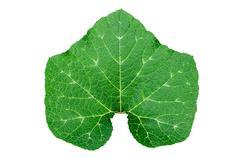Gourd leaf isolated Stock Photos