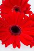 red gerbera daisy flower - stock photo
