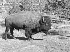 Yellowstone Fauna Stock Photos