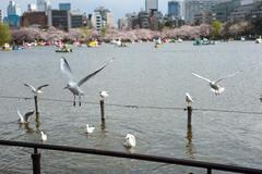 Gulls at Ueno Park Stock Photos
