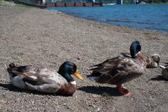 Ducks at Lake Ashi in Hakone - stock photo