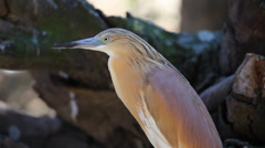 Detail of Golden heron Stock Footage