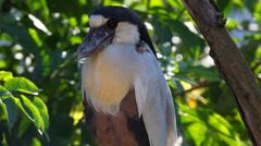 Boat-billed Heron Stock Footage