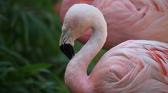 Detail of two Pink Flamingo Stock Footage
