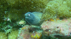 Giant moray eel on the ocean bottom Stock Footage
