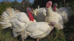 Beautiful group turkey hen eating green grass rural farming food wildlife animal Stock Footage