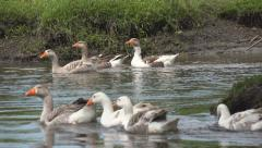Goose, Flock of Geese Swimming on a River, Stream, Creek in Delta, Birds Stock Footage