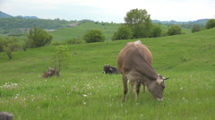 Cows Grazing in Field, Pasture, Farming, Countryside, Rustic Mountains View Stock Footage