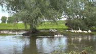Stock Video Footage of Goose, Flock of Geese Swimming on a River, Stream, Creek in Delta, Birds