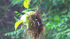 Colorful Black-and-Red broadbill in action Stock Footage