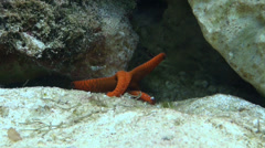 Starfish Fromia indica at coral reef close up Stock Footage