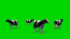 Cows graze in the pasture - green screen Stock Footage