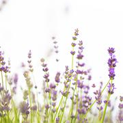 Lavender flowers close-up Stock Photos