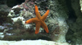 Red starfish climbing in coral reef Footage