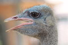 ostrich portrait in the farm, close up, background - stock photo