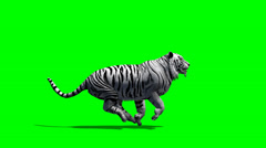 White Tiger kulkee - green screen Arkistovideo