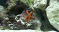 Red climbing starfish timelapse in coral reef Footage