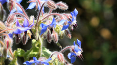 Borage Herb - British Wildflower Stock Footage