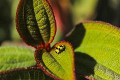 Yellow Lady Bug - stock photo