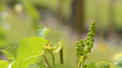 Vineyard in the spring,locked down Stock Footage
