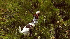 Jack Russell dog in slow motion long grass Stock Footage