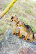 Little cats of abyssinian over green grass background Stock Photos
