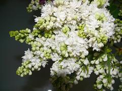 Stock Photo of commnon lilac